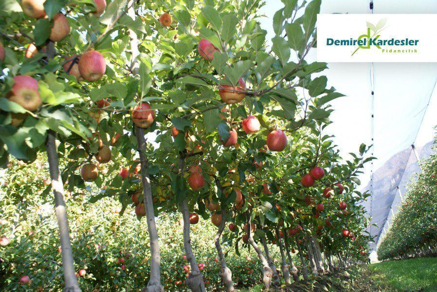 advantages of dwarf fruit tree orchards