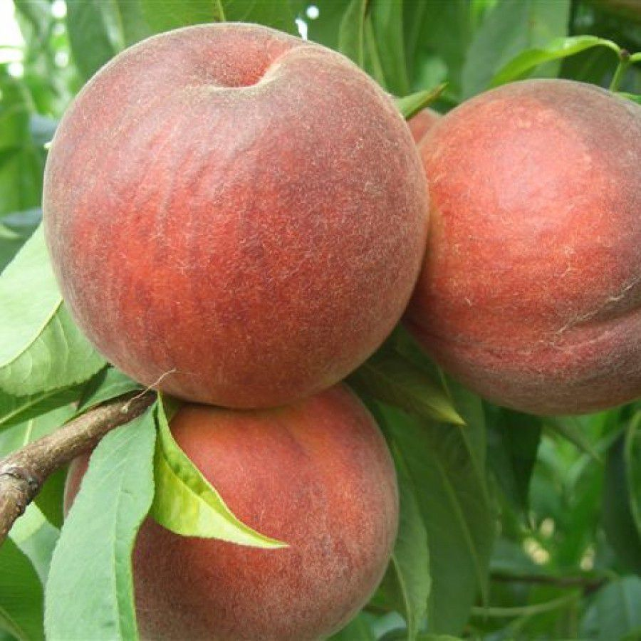 Elegant lady demirel karde ler fidanc l k for The peach tree