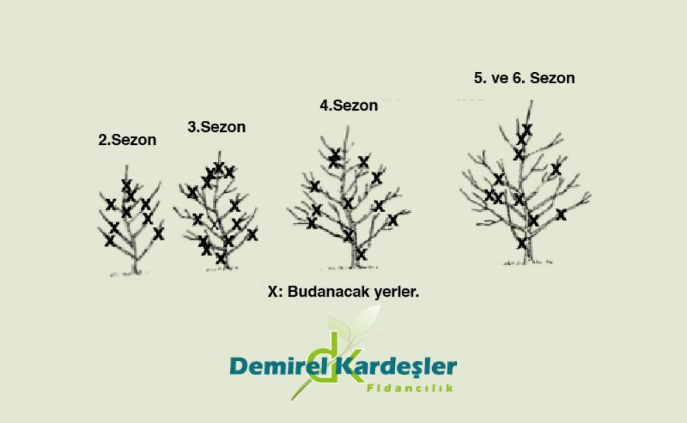 Meyve Ağacı Budama Resimli Anlatım Demirel Kardeşler Fidancılık
